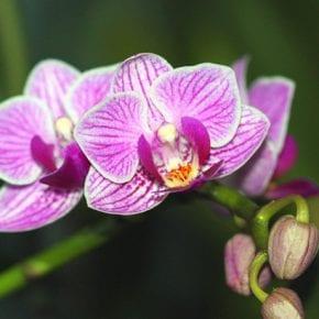 Магическое значение орхидеи в вашем доме